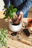 Jardinage, plantant à la maison homme replaçant la plante d'intérieur de ficus Photographie stock