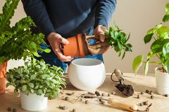 Jardinage, plantant à la maison homme replaçant la plante d'intérieur de ficus Image stock