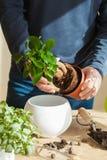 Jardinage, plantant à la maison homme replaçant la plante d'intérieur de ficus Photos libres de droits