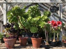 Jardinage - usines mises en pot en vieille serre chaude en bois photographie stock