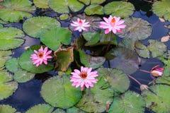 Jardinagem aquática dos lírios de água Fotografia de Stock Royalty Free