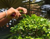 Jardinagem - bonsais do aparamento da mão do homem Imagens de Stock Royalty Free