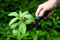 Jardinagem da erva Imagens de Stock