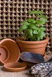 Jardinagem - ervas da manjericão Imagem de Stock