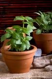 Jardinagem - ervas do sábio e da manjericão Fotografia de Stock Royalty Free