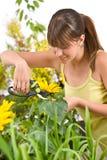 Jardinagem - girassol da estaca da mulher com tesouras Fotografia de Stock