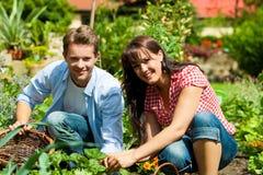 Jardinagem no verão - colheita dos pares Imagens de Stock