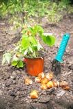 Jardinagem O potenciômetro das morangos e os bulbos das flores estão em t Foto de Stock