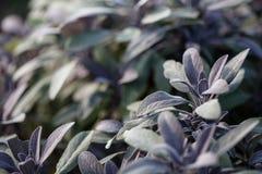 Jardinagem orgânica, crescendo prudente no jardim de erva exterior Foto de Stock