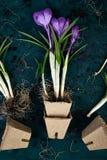 Jardinagem Potenciômetros da turfa, flor do açafrão e plântulas novas Mola Foto de Stock
