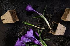 Jardinagem Potenciômetros da turfa, flor do açafrão e plântulas novas Mola Imagens de Stock