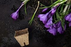 Jardinagem Potenciômetros da turfa, flor do açafrão e plântulas novas Mola Imagem de Stock