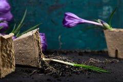 Jardinagem Potenciômetros da turfa, flor do açafrão e plântulas novas Mola Imagem de Stock Royalty Free