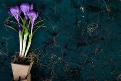 Jardinagem Potenciômetros da turfa, flor do açafrão e plântulas novas Mola Fotos de Stock Royalty Free