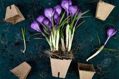 Jardinagem Potenciômetros da turfa, flor do açafrão e plântulas novas Mola Fotografia de Stock Royalty Free