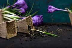 Jardinagem Potenciômetros da turfa, flor do açafrão e plântulas novas Mola Imagens de Stock Royalty Free