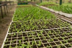 Jardinagem vegetal orgânica na estufa imagem de stock