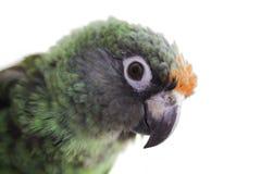 Jardine Papagei stockfotografie