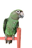 Jardine Parrot Stock Photos