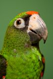 Jardine's Parrot. A green Jardine's parrot native to Africa Stock Photo