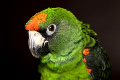 Jardine's Parrot. A green Jardine's parrot native to Africa Royalty Free Stock Photos