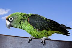 Jardine's Parrot Royalty Free Stock Photos