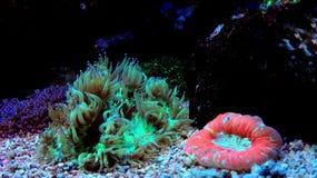 Jardinei Catalaphyllia коралла LPS элегантности Стоковая Фотография