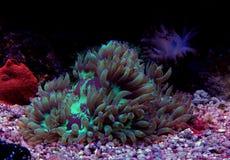 Jardinei Catalaphyllia коралла LPS элегантности Стоковые Изображения RF