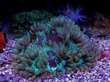 Jardinei Catalaphyllia коралла LPS элегантности Стоковые Фото