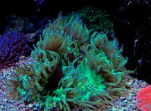Jardinei Catalaphyllia коралла LPS элегантности Стоковые Изображения