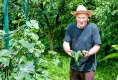 Jardineiro com pepinos orgânicos Fotografia de Stock