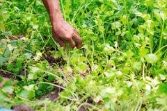 Jardineiro da mão do aipo Fotografia de Stock Royalty Free