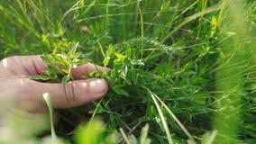 Jardineiro de jardinagem do homem no verde de rasgo do sol da grama do jardim A mão do homem toca na grama no estilo de vida o ca vídeos de arquivo