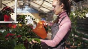 Jardineiro fêmea atrativo no uniforme que molha um potenciômetro com a planta verde com a lata molhando do jardim na estufa filme