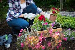 Jardineiro fêmea irreconhecível que mantém a flor bonita pronta para ser plantado em um jardim Conceito de jardinagem Imagem de Stock
