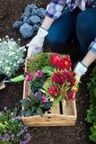Jardineiro fêmea irreconhecível que mantém a flor bonita pronta para ser plantado em um jardim Conceito de jardinagem Fotos de Stock