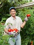 Jardineiro feliz que prende tomates maduros em seu jardim Foto de Stock