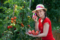 Jardineiro que colhe tomates Fotografia de Stock Royalty Free