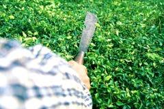 Jardineiro que corta a cerca do chá de Hokkien pela faca longa na manhã imagem de stock