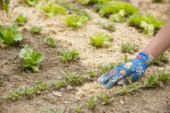 Jardineiro que espalha uma palha de canteiro da palha em torno das plantas fotografia de stock