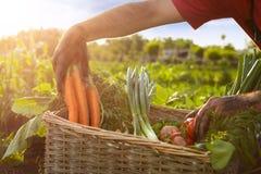 Jardineiro que guarda a cenoura e o tomate de uma cesta Imagem de Stock