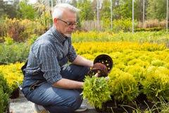 Jardineiro que guarda uma planta pequena da plântula no mercado do jardim foto de stock