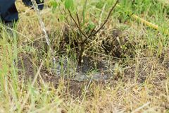 Jardineiro que molha uma árvore crescente pequena em uma exploração agrícola Um homem cresce uma árvore de noz imagem de stock