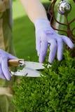 Jardineiro que poda e que dá forma a um topiary do alfeneiro Imagens de Stock