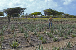 Jardineiro que trabalha em um campo do aloés Vera Fotografia de Stock Royalty Free