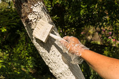 Jardineiro que whitewashing a árvore Fotos de Stock