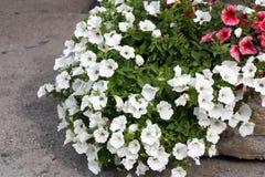 Jardinera de piedra con las petunias blancas Foto de archivo