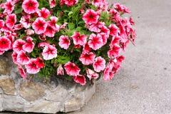 Jardinera de piedra con las petunias rosadas Foto de archivo