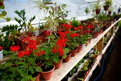 Jardinerie avec des rangées des fleurs dans des pots photos libres de droits