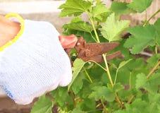Jardinero con el pruner del jardín fotos de archivo